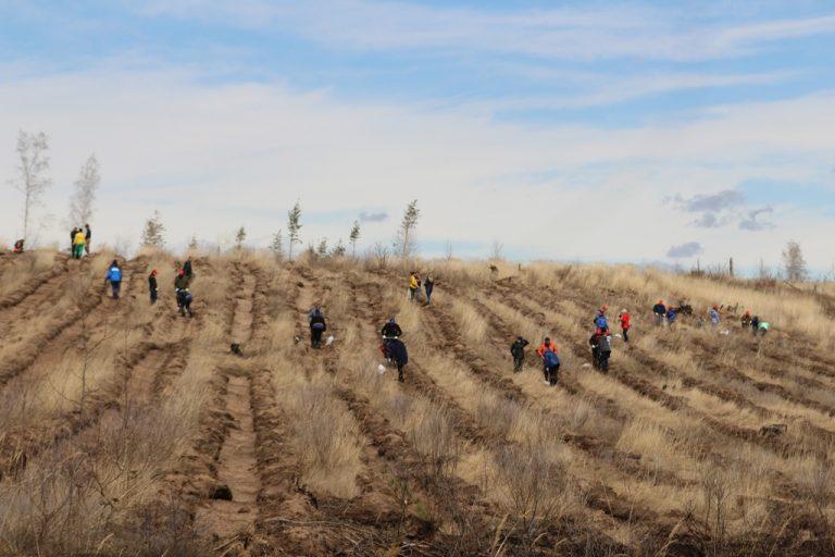 9000 сеянцев сосны высадят на месте сгоревшего леса в Тольятти