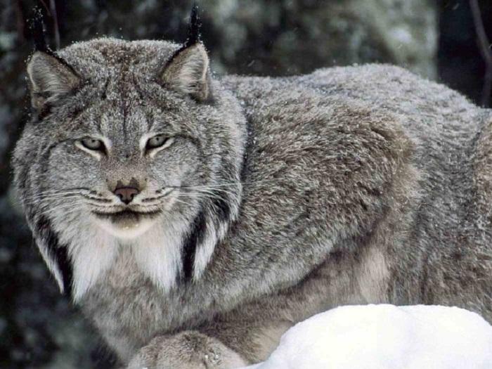В лесах под Тольятти живут 93 лося, 20 косуль и одна рысь