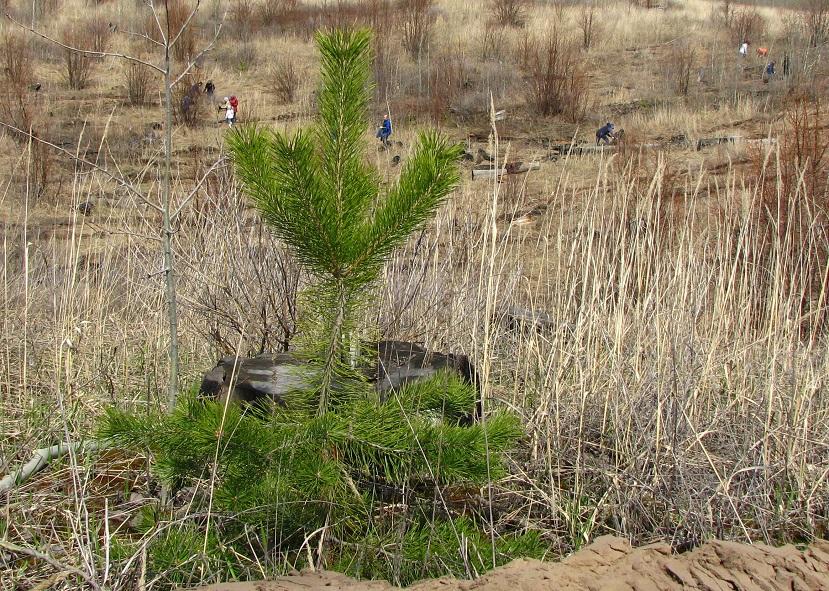 «ИнфоЛада» высадит в тольяттинском лесу тысячи новых деревьев