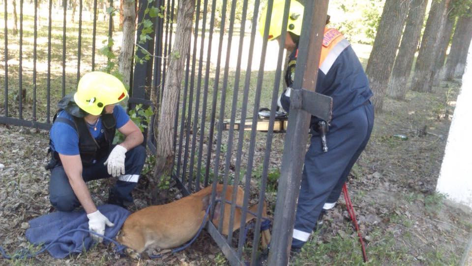 Тольяттинские спасатели пришли на помощь косуле, застрявшей в заборе