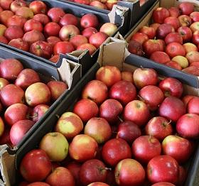 В Самарской области уничтожили 210 кг санкционных яблок