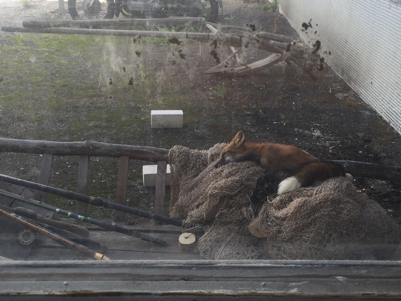 На территорию тольяттинского лицея пробралась лиса