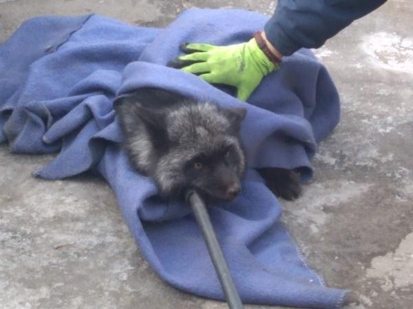 Спасатели ловили черную лису в тольяттинском дворе