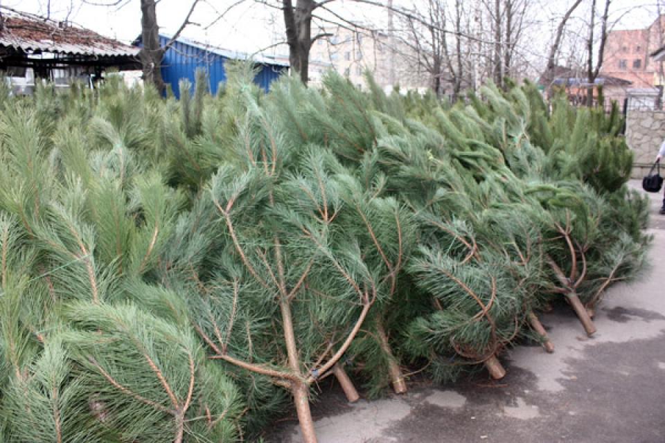 В Тольятти поймали лесничего, который за взятку разрешил рубить елки в лесу