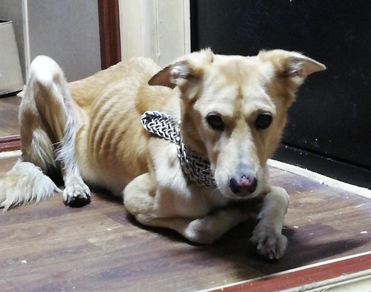 В Тольятти спасают истощенную собаку, которая сбежала от издевательств