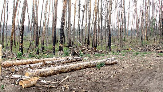 В Тольяттинском лесничестве неизвестный вырубил деревьев на 1,2 млн рублей