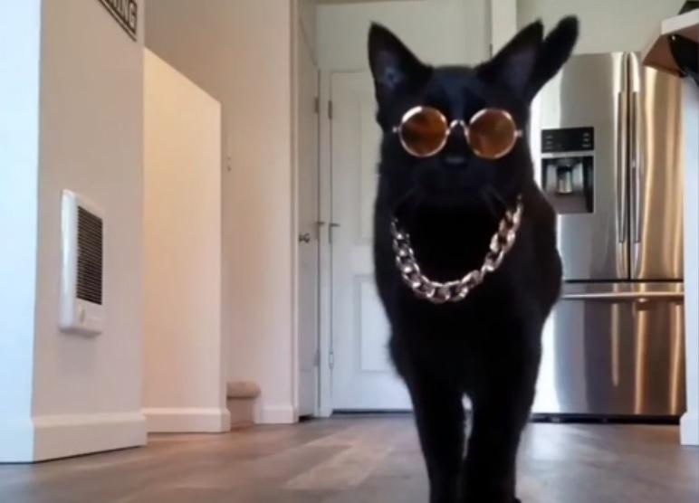 Кошачий показ мод на карантине покорил интернет