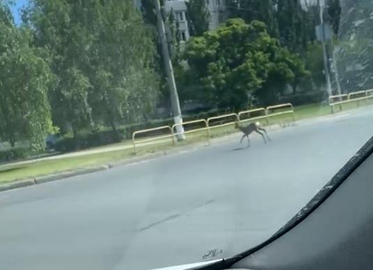 На улицах Тольятти пытаются поймать косулю