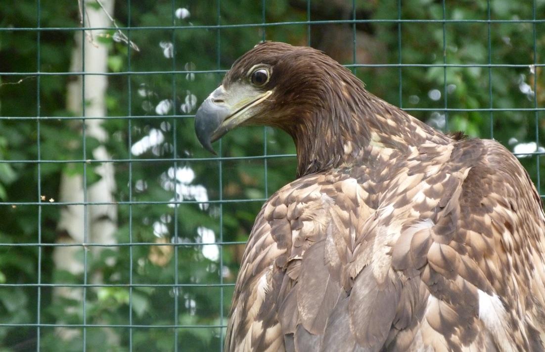 Специалисты «Самарской Луки» спасли краснокнижного орлана