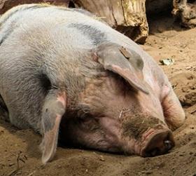 В Самарской области зафиксировано 52 случая африканской чумы свиней