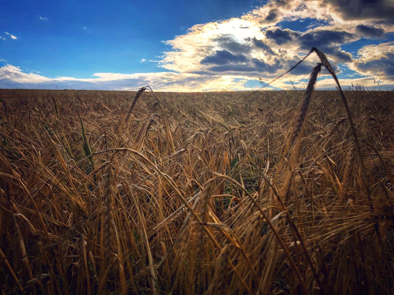 Самарская область готова установить рекорд по валовому сбору зерна