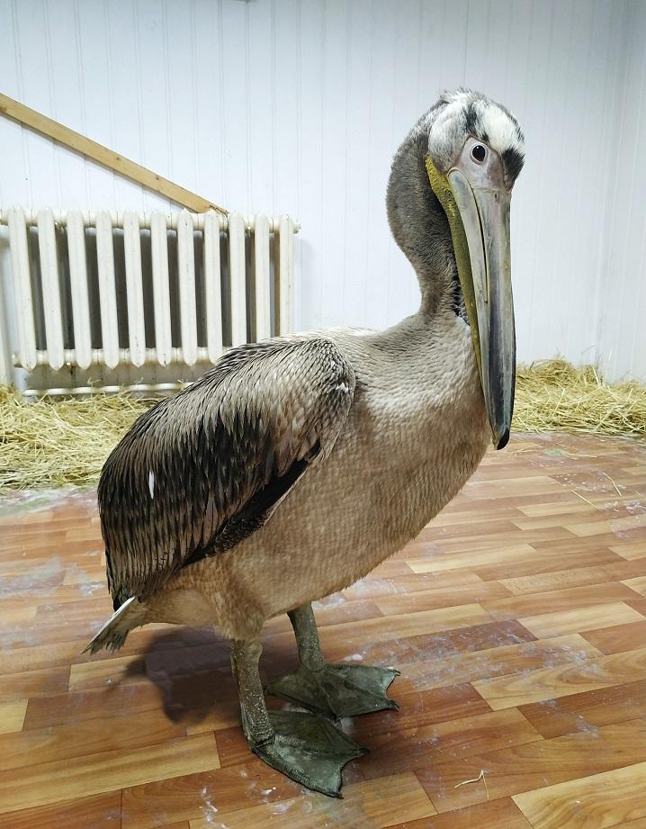 В Самарской области спасли таинственного пеликана