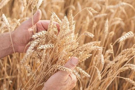 В Самарской области собрали рекордный за 30 лет урожай зерна