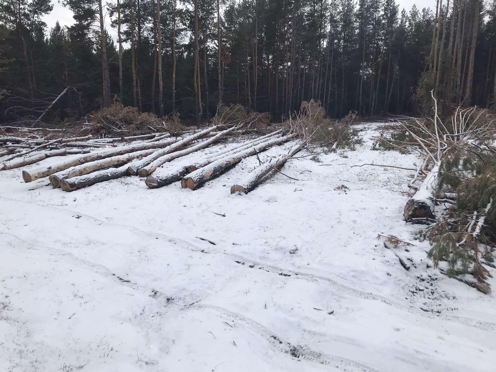 В Самарской области предприниматель незаконно вырубил 94 сосны