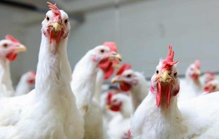 В России могут повысить цены на яйца и мясо птицы